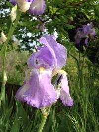Iris dell'Architetto - Azzurro