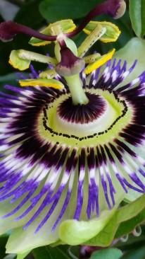 Orto Margarita Teodoro - La Passiflora