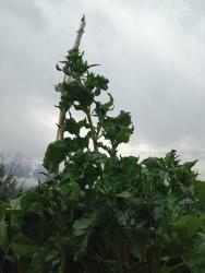 Raetia - Perilla Fruttescens Fresca