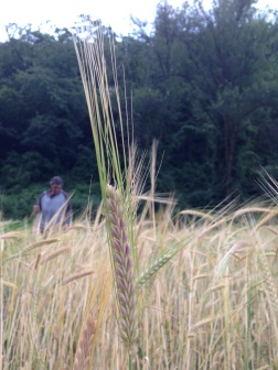 Raetia - Cereali a Giugno (3)