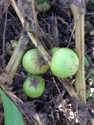 Val D'Arigna - Frutto della Patata