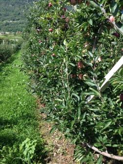 Azienda Agricola Franchetti - Filari con diserbo meccanico