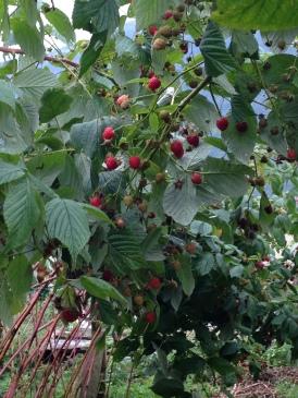 Non Solo Piccoli Frutti - I Lamponi 3